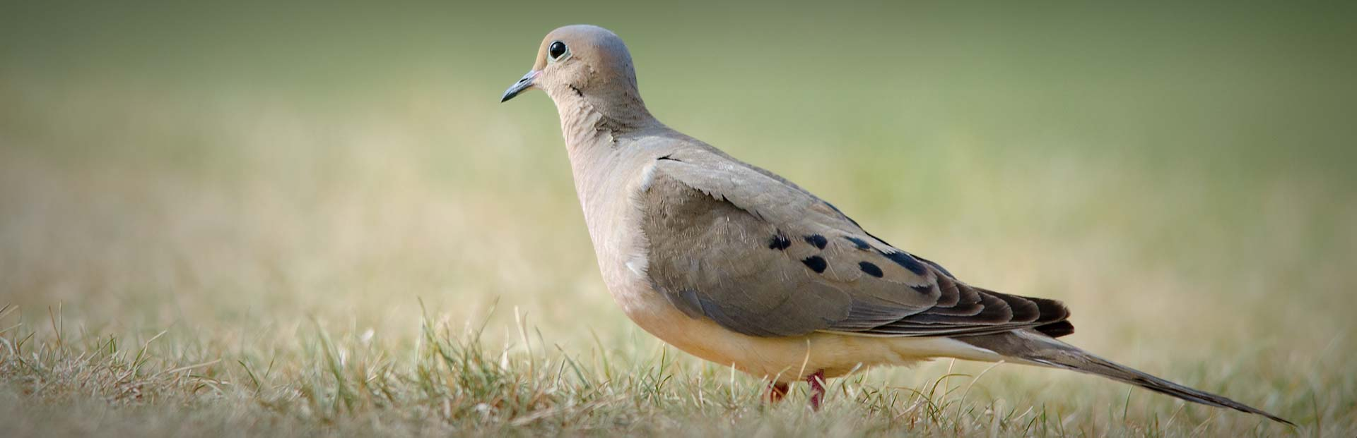 Tips From Florida Dove Hunting